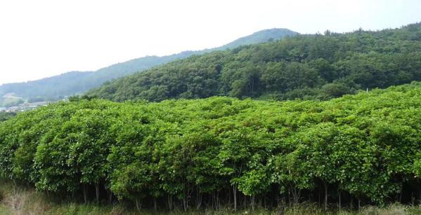 황칠나무 군락